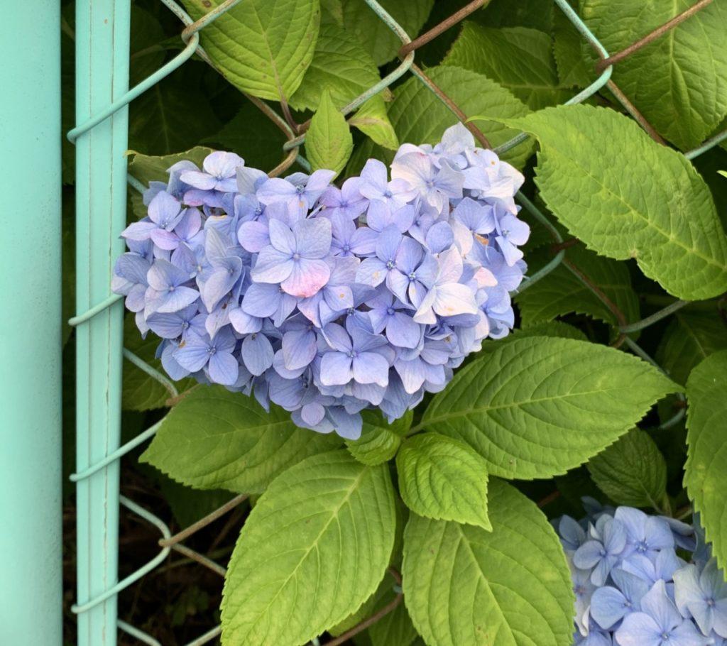 ハート型の紫陽花(撮影:佐藤愛子)
